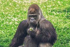 Lettuce Spray (•tlc•photography•) Tags: gorilla silverback pittsburghzoo animal animalia chordata mammalia primates haplorhini similformes hominidae homininae gorillini savage1847 subsaharanafrica albertinerift virungavolcanoes centralwestafrica democraticrepublicofthecongo rwanda lettuce