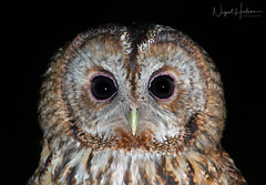 Tawny Owl (Nigel Hodson) Tags: canon 1dxmkii 600mmf4ii 2x tawny tawnyowl birds birdphotography bird birdofprey wildlife wildlifephotography nature naturephotography portrait