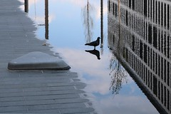 flooded (Wackelaugen) Tags: bird dove pigeon animal nature water reflection building stuttgart germany canon eos photo photography stephan wackelaugen