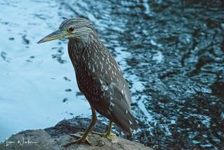 Black-crowned Night Heron-18-13