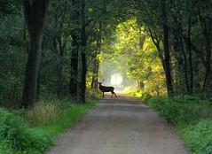 Edelhert Weerterbos (ToJoLa) Tags: 2018 eos canoneos60d nature natuur september edelhert deer weerterbos edelhertenspotten colour color kleuren herfst najaar autumn bos wood mist