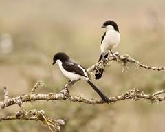 Black and white (Nagarjun) Tags: nairobinationalpark kenya africa