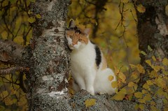 """ hug a tree ""... (KvikneFoto) Tags: åsta katt cat høst autumn fall nikon bokeh"