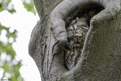 Tawny Owl having a moment of pure joy (Corine Bliek) Tags: bird birds vogel vogels uilen roofvogels prey nature natuur wildlife bomen nest strixaluco animal tree wood forest owls wise sleeping asleep