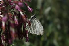papillon (bulbocode909) Tags: valais suisse valdentremont vallondevalsorey papillons insectes nature montagnes fleurs vert