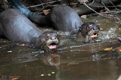 Anangu creek, giant river otter, (larschristerjageland) Tags: anangu anangucreek ecuador napowildlifecenter natur sydamerika utter djur flod giantriverotter landskap orellana ec