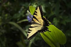 Eastern Tiger Swallowtail Butterfly (Sohag.Mahbub) Tags: eastern tiger swallowtail butterfly