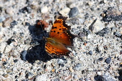 Eastern Comma Butterfly (Polygonia comma) (Gerald (Wayne) Prout) Tags: easterncommabutterfly polygoniacomma animalia arthropoda insecta lepidoptera nymphalidae polygonia comma butterflies eastern insect insects animal animals bugs nature bushaccessroad highway101west sudburydistrict north northernontario ontario canon prout geraldwayneprout canada canoneos60d eos 60d digital dslr camera canonlensef70300mmf456isusm lens ef70300mmf456isusm macro photographed photography bush access road highway 101 west sudbury district northern