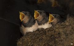 All together now. (davidrhall1234) Tags: swallowhirundorustica swallow scotland ganavan birds bird birdsofbritain beak countryside coastal coast hungry nature nikon feather nest outdoors wildlife world