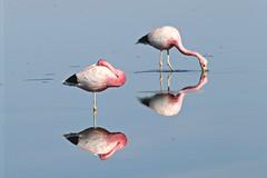 stand by me (daniel.virella) Tags: reflection reflex andes suramérica américa chaxa atacama chile salar flamingo lagoon water lake picmonkey