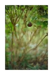 2018/8/19 - 2/6 photo by shin ikegami. - SONY ILCE‑7M2 / New Jupiter 3+ 1.5/50 L39/M (shin ikegami) Tags: 紫陽花 flower 花 井の頭公園 吉祥寺 summer 夏 sony ilce7m2 sonyilce7m2 a7ii 50mm lomography lomoartlens newjupiter3 tokyo sonycamera photo photographer 単焦点 iso800 ndfilter light shadow 自然 nature 玉ボケ bokeh depthoffield naturephotography art photography japan earth asia