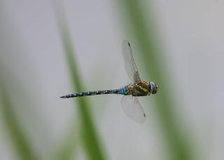 Migrant Hawker Dragonfly Lackford Lakes 19-08-2018-2535