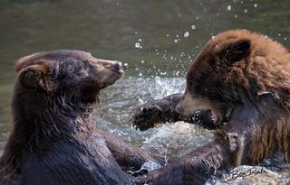 Bears-at-Play-09122018