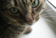 DSC05048 (coonfide) Tags: siberea cats macro couple portrait cute photoshoot nature amateur mature
