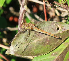 Which dragonfly? (StJohn Smith1) Tags: closeups insects libellulae dragonflies hawkers sussex wildlife garden visitors