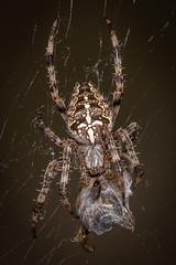 a hunter and its prey - Ein Jäger und seine Beute (ralfkai41) Tags: prey insekten crossspider hunt nature biene tier insect natur animal makro beute macro honeybee bee kreutzspinne spinne spider jagd