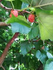Mulberries (daveandlyn1) Tags: fruit fruittree mulberries nationaltrust dunmastonhall garden branches leaves pralx1 p8lite2017 huawei