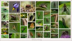 KUS850-0179 (Weinstöckle) Tags: fliege spinne falter bittersüsernachtschatten blüte wanze zikade biene motte schlupfwespe schwebfliege krabbenspinne