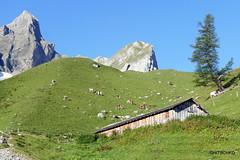 Auf Eggen (HITSCHKO) Tags: iffigen iffigensee iffigenalp berneroberland bern schweiz alpwirtschaft bergsee bergblumen
