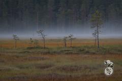 Morning mist (Storm'sEndPhoto) Tags: karvia kauhanevanpohjankankaankasallispuisto kansallispuisto nationalpark finland suomi trees forest meadow bog mire swamp neva aamu morning sumuinen mood atmosphere landscape landschaft nordic