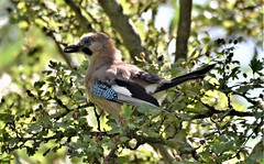 Jay in the shadows. (pstone646) Tags: jay bird nature wildlife fauna sunshine tree high ashford kent feeding animal leaves green bokeh