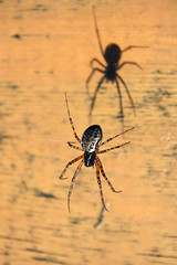 Me and my Shadow (WestMaue) Tags: arachnid arachnids house invertebrate invertebrates macro naturephotography nature photo photography spider spiders web