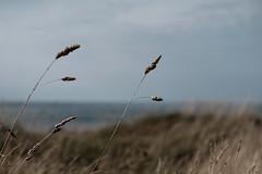 Regarder la mer (ericguéret) Tags: rivage dunes oya seashore cotentin plage beach labassebréfort manche lerazblanchard herbes seascape landscape paysage