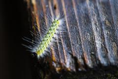 BRUCO (Ezio Donati is ) Tags: animali animals insetti insect natura nature alberi trees macro italia parcodelticino provinviadipavia