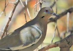 White-Winged Dove at Madera Canyon. (Ruby 2417) Tags: dove bird wildlife nature madera canyon arizona wild