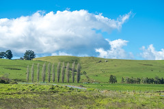Somewhere in New Zealand #2 (Robert Borden) Tags: travel rural newzealand nz northisland whereaminz green landscape landscapephotography fuji fujifilm fujifilmxt2 fujiphotography 50mm 50mmlens sheep inarow trees
