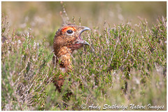 Cock Red Grouse Calling in Heather (www.andystuthridgenatureimages.co.uk) Tags: grouse red cock heather call calling head closeup yorkshire dales moorland moors