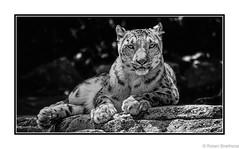 On the Edge (Robert Streithorst) Tags: cincinnatizoo ledge mono robertstreithorst rocky snowleopard zoosofnorthamerica bigcat