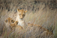 Lion tales - 'Once upon a time...' (He Ro.) Tags: 2018 africa afrika botswana safari southernafrica lions pantheraleo younglions playing playful outdoor nature wildlife okavangodelta shindeconcession wild animals mammals predator botsuana coth5 gras ngc big5 npc specanimal specanimalphotooftheday