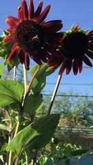 Methodical Honeybee On Mahogany Sunflower - Front View (Chic Bee) Tags: mahogany sunflower mygarden honeybee video iphone7plus frontview sideview sunshine mahoganysunflower tucson arizona usa southwesternusa americansouthwest northamerica milkywaygalaxy america
