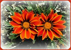 Bright Twins (FernShade) Tags: vancouverbc stanleypark flower flora blossoms orangepetalsnature plants outdoor macro