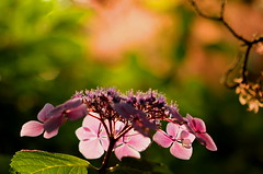 Lace and Light (acwills2014) Tags: lace lacecap hydrangea light lit backlighting bokeh