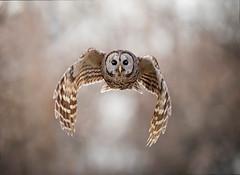 Down-Flap... (DTT67) Tags: barredowl owl barred flight raptor wildlife bif nature canon 1dxmkii 500mm