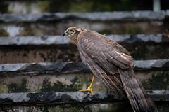 Sparrow Hawk (Keith Grafton) Tags: sparrowhawk birds mybackgarden