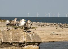 Gullwatch (Gill Stafford) Tags: gillstafford gillys image photograph wales northwales conwy gulls birds sea rhosonsea