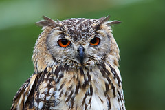 Eurasian eagle-owl (generalstussner) Tags: eurasianeagleowl uhu portrait animal bird raubvogel predator bokeh details eyes feathers federkleid canon
