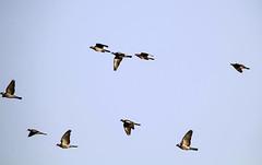 IMG_5277 (ibzsierra) Tags: paloma torcaz pigeon culom ave bird oiseau ibiza eivissa baleares canon 7d tyamron g2 150600 salinas parque natural