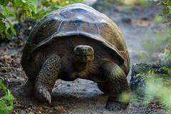 Galapagos Tortise (Ron Scubadiver's Wild Life) Tags: tortoise reptile jungle tropical 100400 galapagos ecuador tamron nature wild