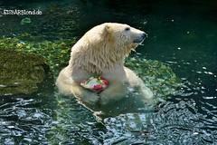 Sprinter - Milana - Eisbären - Erlebnis-Zoo Hannover (ElaNuernberg) Tags: eisbärsprinter eisbärmilana erlebniszoohannover zoo zootiere zooanimals eisbär polarbear ursusmaritimus ourspolaire orsopolare ijsbeer isbjorn niedźwiedźpolarny jääkaru