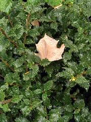 HU - 20180911 - IMG - 085637733 (bix02138) Tags: cambridgema 2018 september11 flora loebhouseharvarduniversity harvarduniversity ©2018 lewis brian day