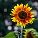 Sunflower, Munsinger Gardens 8/17/18 #munsingerclemens #greaterstcloud #flowers