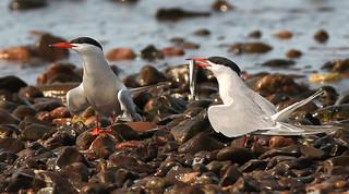 Sterne pierregarin \ Common Tern