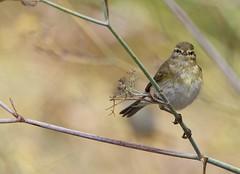 Felosa-musical - (Phylloscopus trochilus) - Willow warbler (carloscmdm) Tags: parque urbano jamor natureza selvagem felosamusical phylloscopus trochilus willow warbler