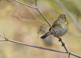 Felosa-musical - (Phylloscopus trochilus) - Willow warbler