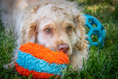 Toys For Sun [In Explore 9/11/18] (helenehoffman) Tags: dog puppy cockerspaniel animal pet coth5