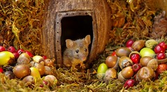 IMGP4087 (Simon Dell Photography) Tags: wild garden house mouse nature animal cute funny fun moss covered log pile acorns nuts berries berrys fuit apple high detail rodent wildlife eye ears door home sheffield ul old english country s12 simon dell apples autumn fall winter fruits seasonal photography